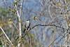 Mockingbird on Isabela Island