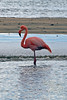 Greater Flamingo on Floreana Island~Galapagos, Ecuador