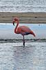 Greater Flamingo on Floreana Island~Galapagos, Ecuador