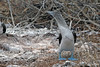 Blue-footed Booby looking back at female after performing mating dance on North Seymour Island~Galapagos, Ecuador