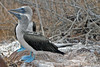 Blue-footed Booby starting mating dance on North Seymour Island~Galapagos, Ecuador