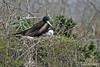 Magnificent Frigatebird with chick on North Seymour Island~Galapagos, Ecuador