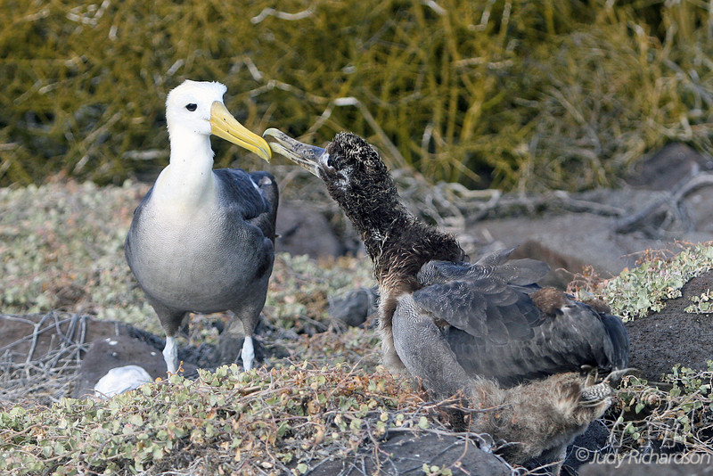 Waved Albatross Chick greeting adult on Española Island~Galapagos, Ecuador