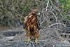 Galapagos Hawk on Española Island~Galapagos, Ecuador