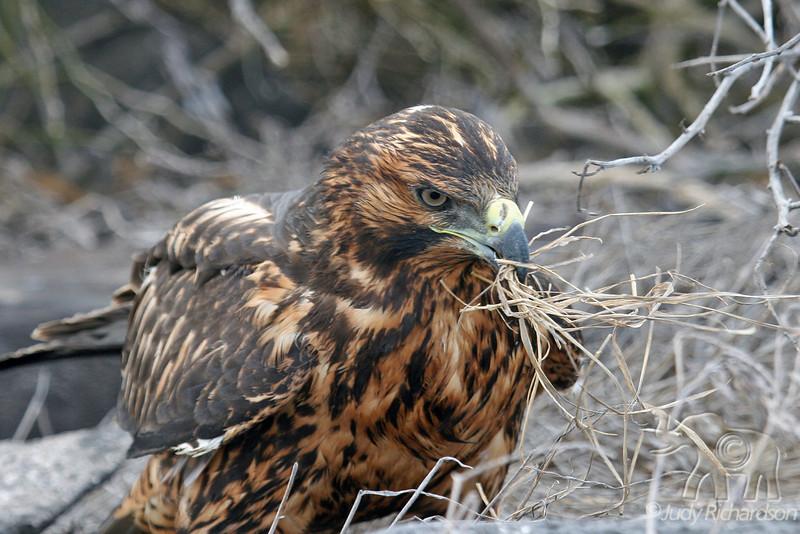 Galapagos Hawk with straw to build nest on Española Island~Galapagos, Ecuador