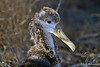 Waved Albatross Chick close-up on Española Island~Galapagos, Ecuador