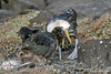 Waved Albatross Chick trying to feed from adult on Española Island~Galapagos, Ecuador