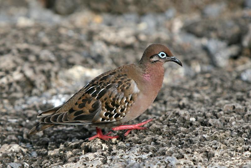 Galapagos Dove at Puerto Ayora on Santa Cruz Island~Galapagos, Ecuador