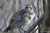 Hood Mockingbird on Española Island~Galapagos, Ecuador