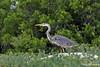 Great Blue Heron at Bachas Beach on northern coast of Santa Cruz Island~Galapagos, Ecuador