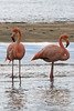 2 Greater Flamingos on Floreana Island~Galapagos, Ecuador