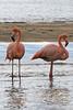 2 Greater Flamingos on Floreana Island~Galapagos, Ecuador