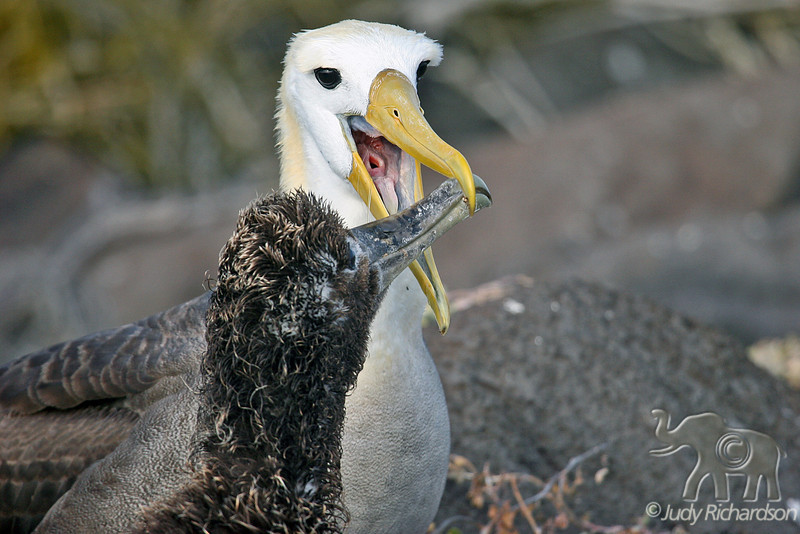 Waved Albatross Chick feeding from adult on Española Island~Galapagos, Ecuador