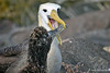 Waved Albatross Chick feeding from adult on Española Island~Galapagos, Ecuador