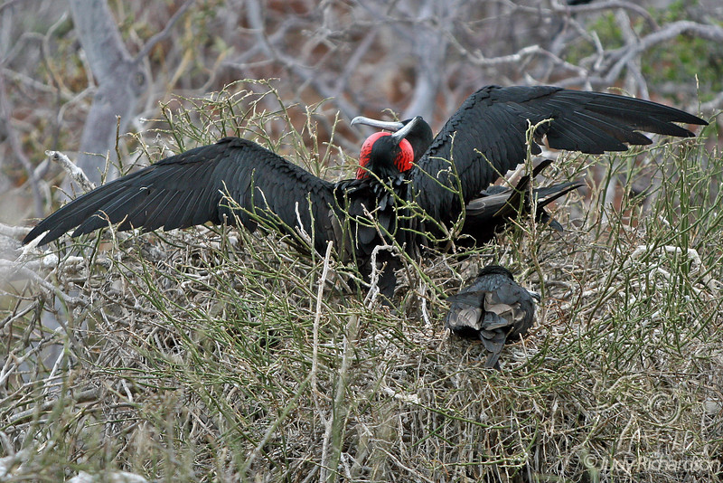 Magnificent Frigatebird displaying and attracting a female on North Seymour Island~Galapagos, Ecuador