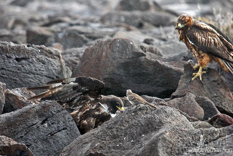 Galapagos Hawk on Espanola~Galapagos Island, Ecuador