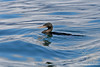 Flightless Cormorant in water on Isabela Island