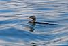 Flightless Cormorant in water on Isabela Island