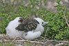 Frigatebird Chick on North Seymour Island~Galapagos, Ecuador