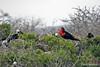 Magnificent Frigatebird  on North Seymour Island~Galapagos, Ecuador