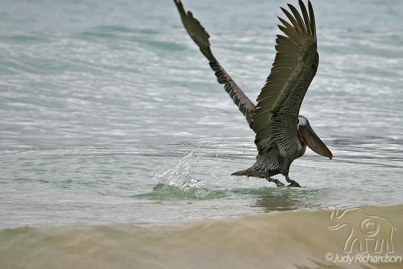 Brown Pelican landing in surf