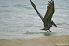 Brown Pelican landing in surf