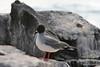 Swallow-tailed Gull on Española Island~Galapagos, Ecuador