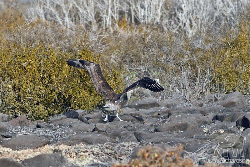Waved Albatross Adult Landing