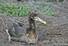 Waved Albatross Chick