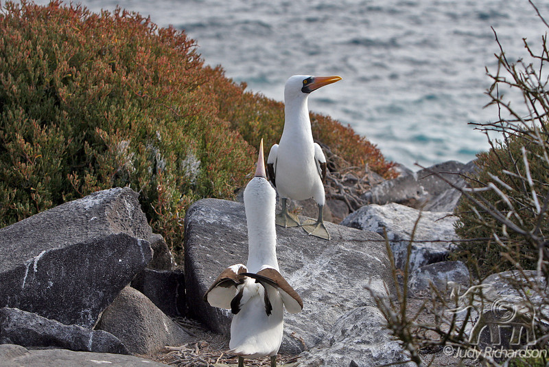 Nazca Booby Mating Ritual~Male calling with female walking away!