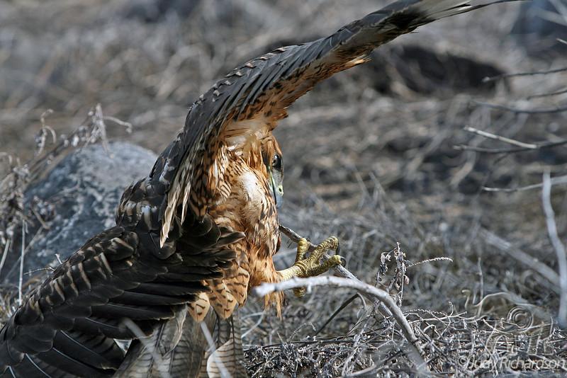 Galapagos Hawk Struggling