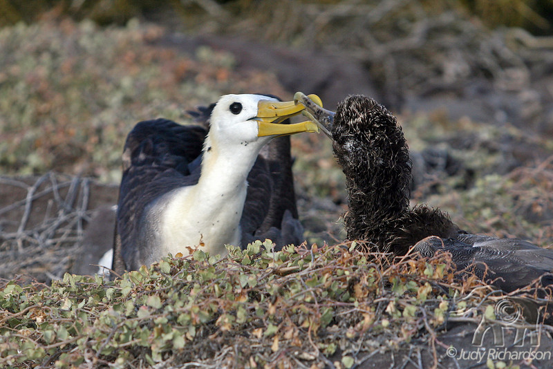 Albatross Chick Begging Adult for Food on Española