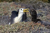 Albatross Chick Begging Adult for Food on Española