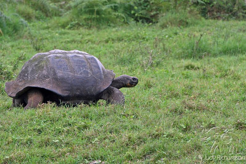 Giant Tortoise walking in Santa Cruz Highlands~Galapagos, Ecuador