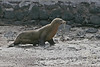Sea Lion walking on San Cristobal Island~Galapagos, Ecuador