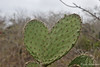 Cactus forming a heart at Interpretation Center on San Cristobal Island~Galapagos, Ecuador