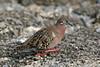 Galapagos Dove on Santa Cruz Island~Galapagos, Ecuador