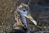 Waved Albatross Chick on Española Island~Galapagos, Ecuador
