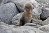 Baby Sea Lion on North Seymour Island~Galapagos, Ecuador