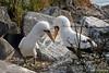 Nazca Booby performing mating ritual on Española Island~Galapagos, Ecuador