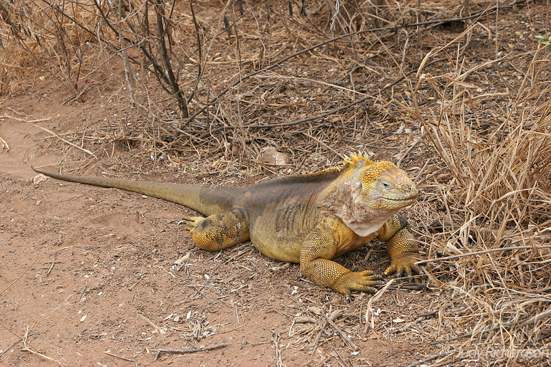 Large Land Iguana on Santa Cruz Island~Galapagos, Ecuador