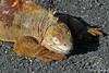 Land Iguana warming on Isabela Island~Galapagos, Ecuador