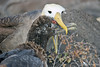 Waved Albatross Chick Feeding on Española Island~Galapagos, Ecuador