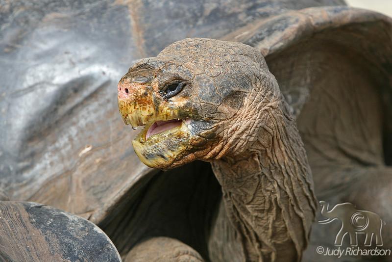 Giant Tortoise after drinking water on Santa Cruz Island~Galapagos, Ecuador