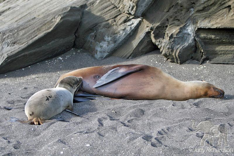 Sea Lion pup nursing on Santiago Island~Galapagos, Ecuador