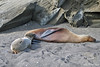 Sea Lion pup nursing on Santiago Island~Galapagos, Ecuador