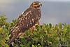 Galapagos Hawk squawking at Punta Espinoza on Fernandina Island~Galapagos, Ecuador