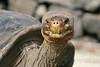Giant Tortoise on Santa Cruz Island~Galapagos, Ecuador