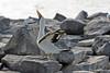 Nazca Booby calling mate on Española Island~Galapagos, Ecuador