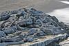Large pile of Marine Iguana at Punta Espinoza on Fernandina Island~Galapagos, Ecuador